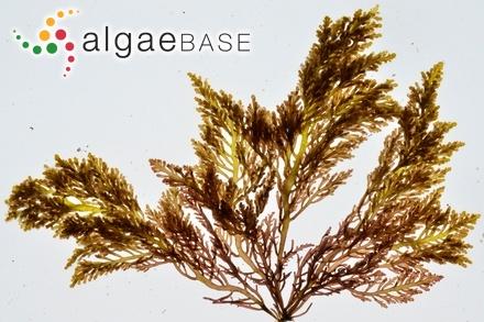 Sargassum ilicifolium var. marginatum C.Agardh
