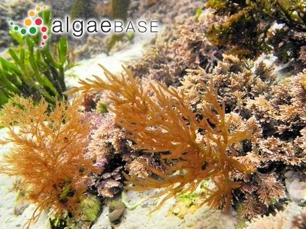 Sargassum microcystum f. dilatatum Grunow