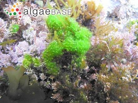 Sargassum myriocystum var. elegans Grunow