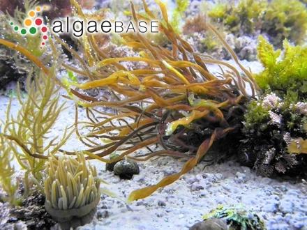 Sargassum elegans Greville