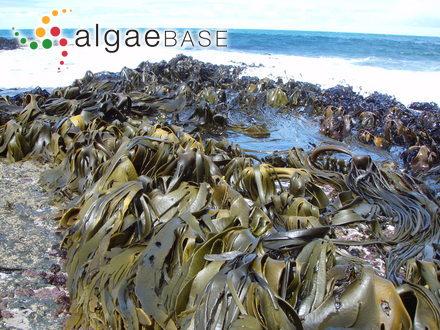 Sargassum lanceolatum var. nicobaricum Grunow