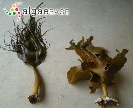 Carpacanthus latifolius (Turner) Kützing