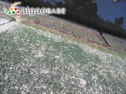 Haligenia bulbosa Decaisne