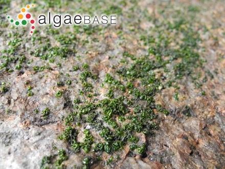 Ascophyllum nodosum var. lusitanicum Lami