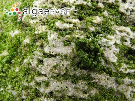 Pelvetia canaliculata var. acutilobata Lami