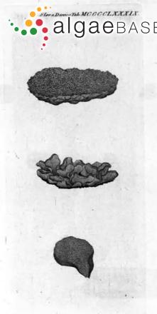Prasiola furfuracea (Mertens ex Hornemann) Trevisan