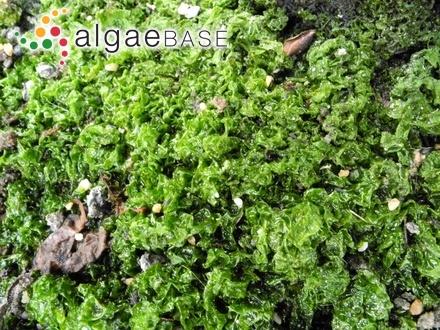 Sphacelaria cirrosa f. meridionalis Sauvageau