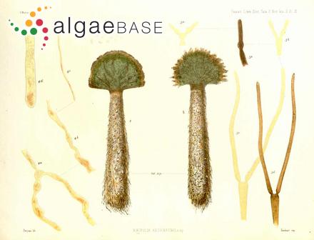 Botryoglossum farlowianum var. anomalum Hollenberg & Abbott