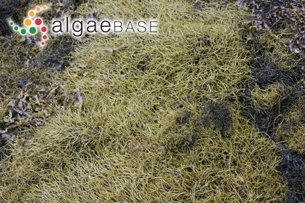 Sargassum pfeifferae Grunow