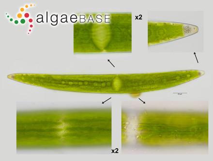 Chroococcus rufescens (Kützing) Nägeli