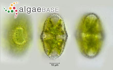 Melobesia myriocarpa P.Crouan & H.Crouan
