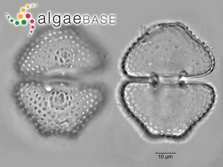Echinocaulon acerosum (Forsskål) Børgesen