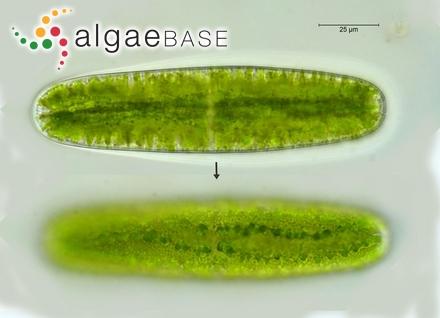 Gelidium bornetii Weber-van Bosse