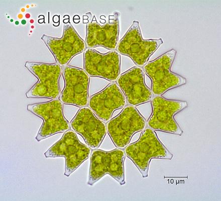 Gelidium ramellosum (Kützing) Trevisan