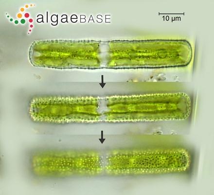 Gelidium corneum var. ramellolsum (Kützing) Harvey