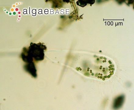 Hirsutithallia angustata (J.D.Hooker & Harvey) Wollaston & Womersley