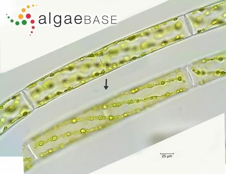 Spongoclonium fasciculatum J.Agardh