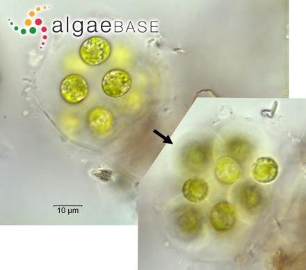 Phormidium formosum (Bory ex Gomont) Anagnostidis & Komárek