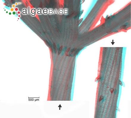Phormidium simplicissimum (Gomont) Anagnostidis & Komárek
