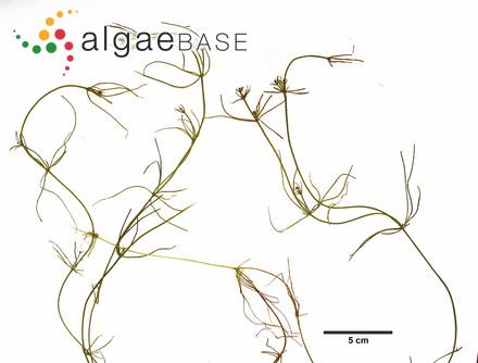 Oscillatoria submembranacea Ardissone & Strafforello ex Gomont
