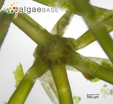 Symploca hydnoides f. minor Iyengar & Desikachary