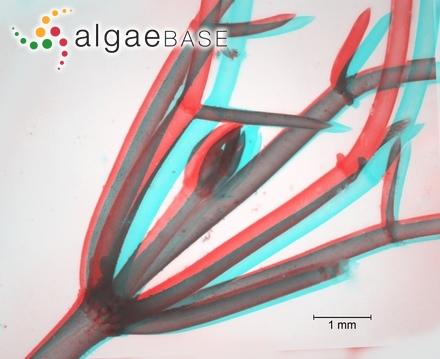Oscillatoria muscorum C.Agardh