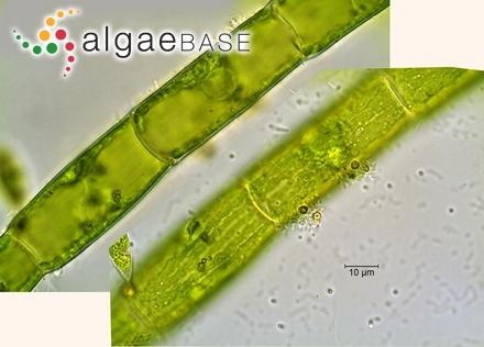 Phormidium crosbyanum Tilden