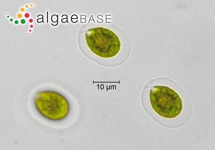 Sphaerellopsis fluviatilis (Stein) Pascher