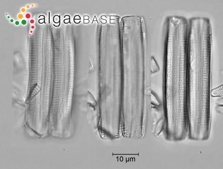 Galaxaura versicolor Sonder