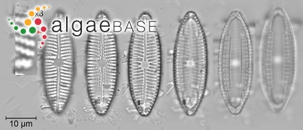 Amphiroa gueinzii Harvey