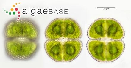 Sphaerococcus domingensis Kützing