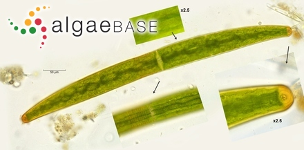 Lithophyllum onkodes f. funduense (Pilger) Foslie