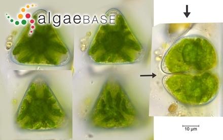 Lithophyllum kotschnyanum f. madagascarense (Heydrich) Foslie