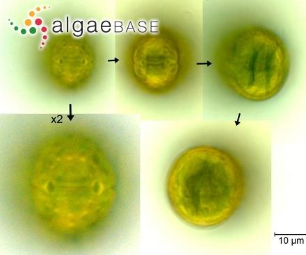 Elisiella arbuscula (J.Agardh) Womersley