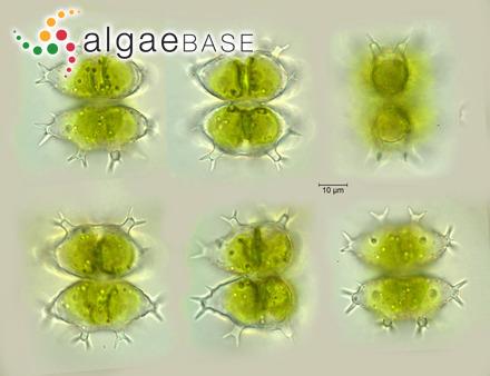 Millepora polymorpha var. ramosa Esper