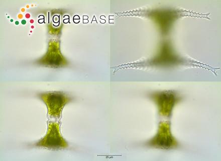 Phacus pleuronectes var. australis Playfair