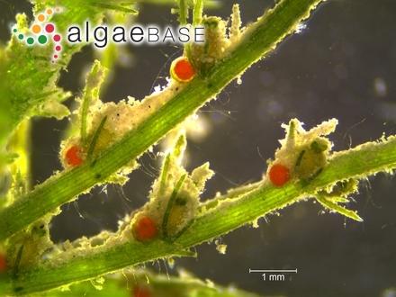 Encyonema turgidum (Gregory) Grunow