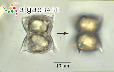 Diploneis boldtiana var. acuminata Playfair
