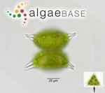 Staurastrum longispinum (Bailey) W.Archer