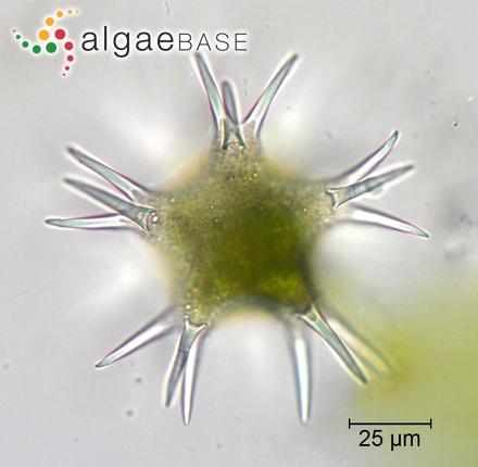 Entomoneis paludosa var. subsalina (Cleve) Krammer