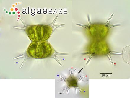 Actinella brasiliensis Grunow