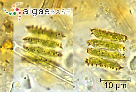 Eunotia pseudopectinalis Hustedt