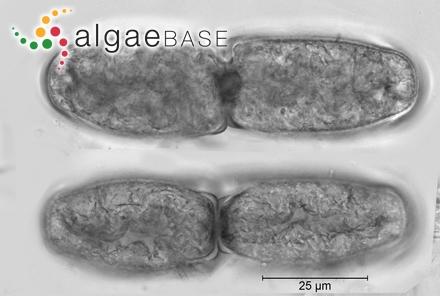 Sargassum qionghaiense C.K.Tseng & B.Lu