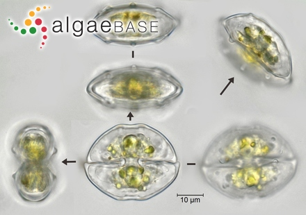 cosmarium pseudotax repeat montagekey