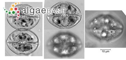 Sargassum longivesiculosum Tseng & Lu