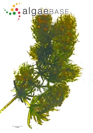 Lamprothamnium papulosum (K.Wallroth) J.Groves