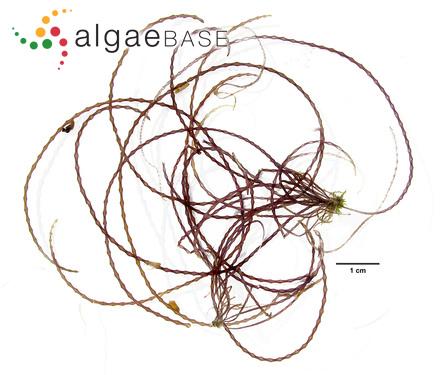 Metagoniolithon gallioides (Lamarck) Ducker
