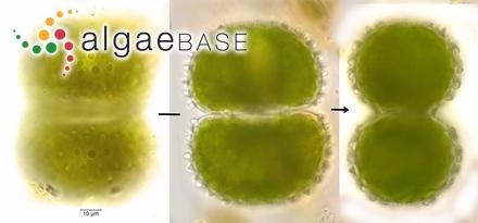 Cosmarium brebissonii Meneghini ex Ralfs
