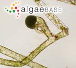 Vaucheria frigida (Roth) C.Agardh
