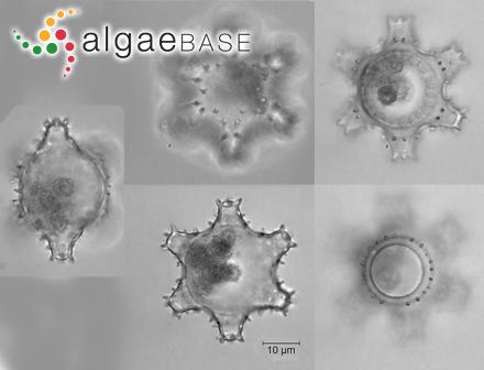Cryptarachne reticulata B.-M.Xia & Y.-Q.Wang